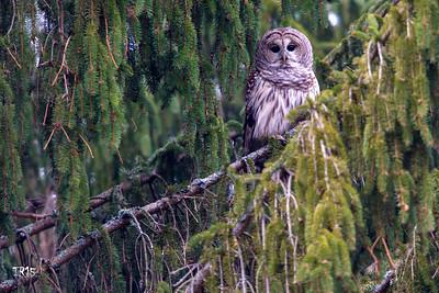 BARRED OWL - WALTON