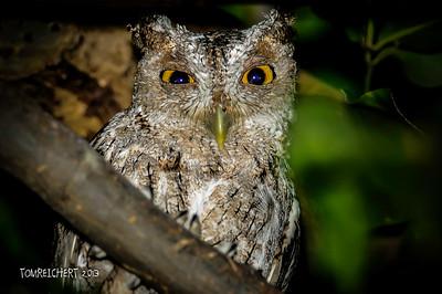 WESTERN SCREECH OWL - COSTA RICA