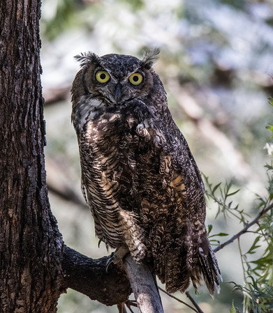GREAT HORNED OWLS