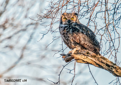 GREAT HORNED - NASSAU CTY.