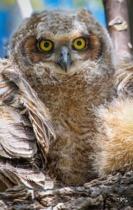 GREAT HORNED - WESTCHESTER CTY.