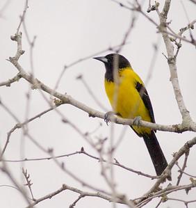 Audubon's Oriole Sick Dog Ranch Alice TX 803_0389 (1) CRW