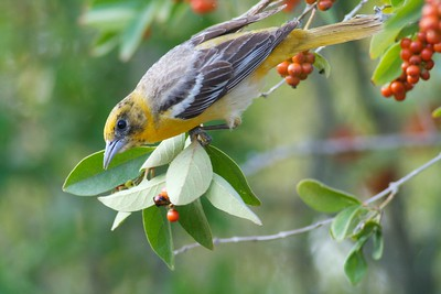 Oriole in Negrito Tree [April; Krenmueller Farms, Lower Rio Grande Valley, Texas]