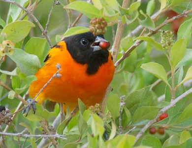 Baltimore Oriole in Negrito Tree [April; Krenmueller Farms, Lower Rio Grande Valley, Texas]