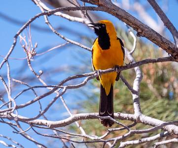 Hooded Oriole Dave Jasper's feeders Chiricahua Mountains near Portal southeast Arizona June 6-12 2019-1066449