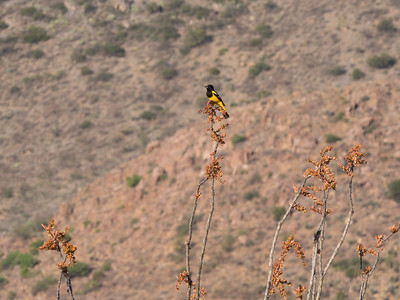 Scott's Oriole male Foothills Road Chihuahuan Desert Chiricahua Mountains near Portal southeast Arizona June 6-12 2019-1066183