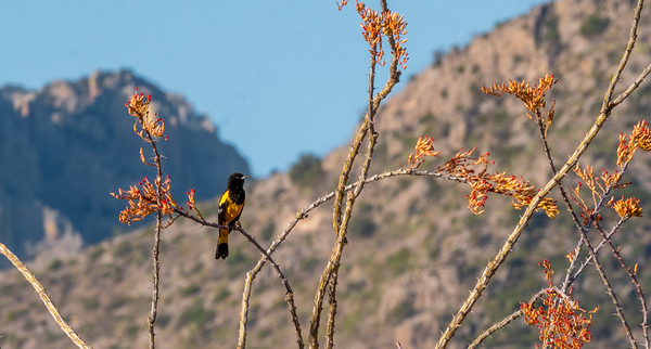 Scott's Oriole male Foothills Road Chihuahuan Desert Chiricahua Mountains near Portal southeast Arizona June 6-12 2019-1066195