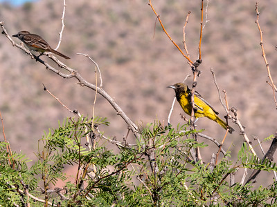 Scott's Oriole female and Ash-throated Flycatcher Foothills Road Chihuahuan Desert Chiricahua Mountains near Portal southeast Arizona June 6-12 2019-1066271-2