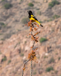 Scott's Oriole male Foothills Road Chihuahuan Desert Chiricahua Mountains near Portal southeast Arizona June 6-12 2019-1066187