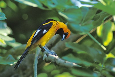 Spot-breasted Orioles are only found in southern Florida near Miami [May; near Miami, Florida]