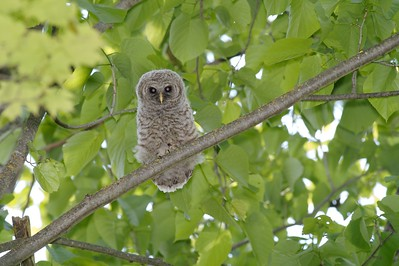 Baby Barred Owl begs for food...One of three fledged juveniles [June 2008, Itasca County, Minnesota]