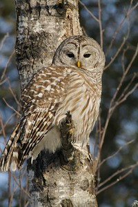 Barred Owls are rarely seen in midday [January; Aitkin County, Minnesota]