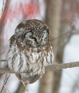 Boreal Owls invade northern Minnesota every four years or so. When they are very hungry they will hunt during the day [February; Old North Shore Drive, Duluth, Minnesota]