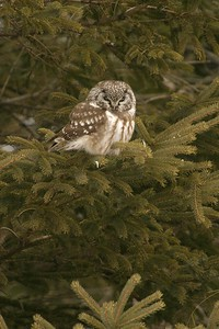 Very rare daylight appearance of a Boreal Owl [Sax-Zim Bog; Northern Minnesota]
