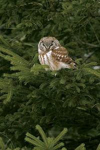 Very rare daylight appearance of a Boreal Owl [Sax-Zim Bog; Northern Minnesota]