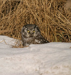 Normally nocturnal, Boreal Owls resort to hunting during the daylight when hungry [March; Hwy 210, Aitkin County, Minnesota]