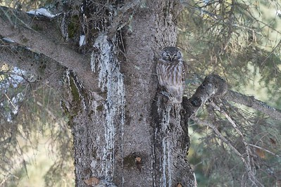 One of the rarest of all North American owls, the Boreal Owl is often only seen when they are starving and must hunt during the day [January; Lake County near Two Harbors, MN]