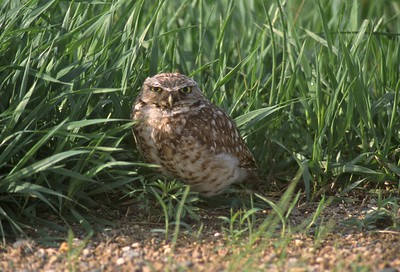 A rare sighting of a Burrowing Owl in Minnesota [June?; Martin County?, Minnesota]