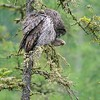 Great Gray Owl hunting midday in drizzle [June 2008, Itasca County, Minnesota]