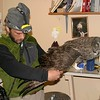 A Great Gray Owl researcher examines a newly-banded bird [May; Whitefish Point, U.P. Michigan]