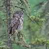 Great Gray Owl sleeping midday in drizzle [June 2008, Itasca County, Minnesota]
