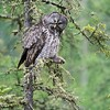 Great Gray Owl preening midday in drizzle [June 2008, Itasca County, Minnesota]