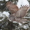 Great Gray Owls breed and winter in the Sax-Zim Bog [February; CR 196 Creek Road, Sax-Zim Bog, St. Louis County, Minnesota]