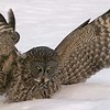Great Gray Owls can hear a vole under two feet of snow at a hundred yards. Facial disks focus sound on the asymetrical ear holes on the front of the skull allowing them to triangulate and pinpoint sound [February; Wisconsin Point, Superior, Wisconsin]