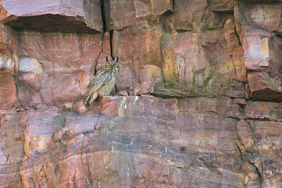 The quartzite cliffs make a safe nesting spot for this Great Horned Owl [June; Blue Mounds State Park, Rock County, Minnesota]
