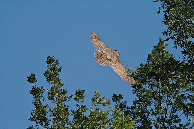 Great Horned Owls are not often seen in flight [June; Blue Mounds State Park, Rock County, Minnesota]