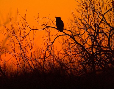 Dusk is when the Great Horned Owls come out to hunt [April; Sick Dog Ranch near Alice, Texas]