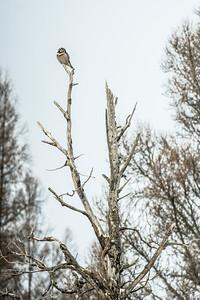 Northern Hawk Owl Beltrami County MN-00503