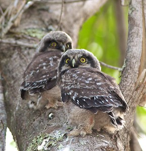 Northern Hawk Owl baby juvenile Owl Ave Sax-Zim Bog MN Northern Hawk Owl two babies juveniles Owl Avenue Sax-Zim Bog MN IMG_1269