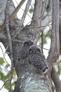 Northern Hawk Owl baby juvenile Owl Ave Sax-Zim Bog MN IMG_1276