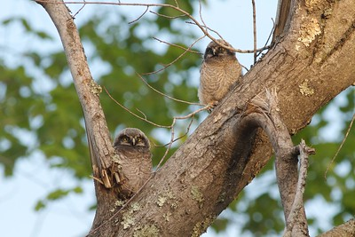 Northern Hawk Owl baby juvenile Owl Ave Sax-Zim Bog MN IMG_1290