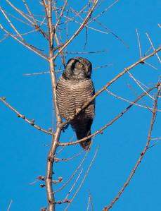 Northern Hawk Owl Zim Road Yoki Road Sax-Zim Bog MN-02999