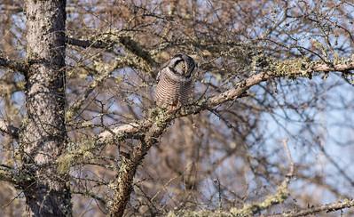 Northern Hawk Owl McDavitt Road Sax-Zim Bog MNSNY04059