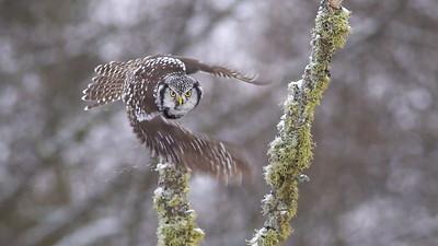 Northern Hawk Owl takeoff flight single frame extracted from video McDavitt Road Sax-Zim Bog MNC0081-2