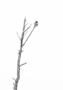 Northern Hawk Owl US2 milepost 209 Itasca County MNIMG_0545