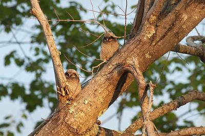 Northern Hawk Owl baby juvenile Owl Ave Sax-Zim Bog MN IMG_1302