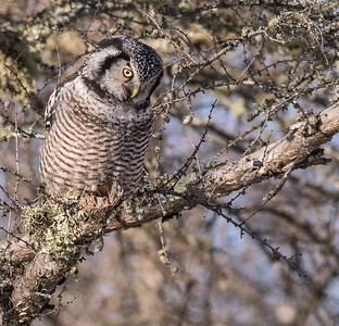 Northern Hawk Owl McDavitt Road Sax-Zim Bog MNSNY04061