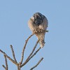 Unlike most owls, Northern Hawk Owls hunt all through the day. They prefer the tip-tops of trees for perches [December; Sax-Zim Bog Minnesota]