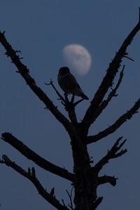 Northern Hawk Owl Kelly J's Jean Duluth Rd Duluth MN IMG_4192