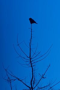 Northern Hawk Owl Zim Road Yoki Road Sax-Zim Bog MN DSC03025