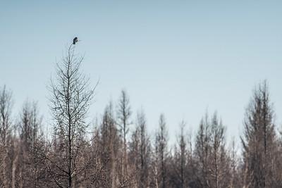 Northern Hawk Owl Zim Road Yoki Road Sax-Zim Bog MN DSC03064