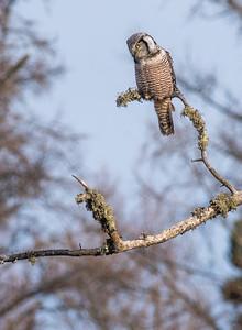 Northern Hawk Owl McDavitt Road Sax-Zim Bog MNSNY03974