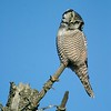 Very few owls hunt exclusively during daylight hours...The Northern Hawk Owl is one such owl [January; Duluth, Minnesota]
