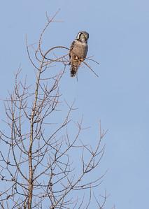 Northern Hawk Owl McDavitt Road Sax-Zim Bog MNSNY03966