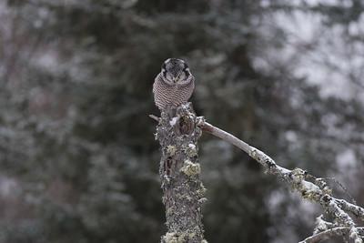 Northern Hawk Owl McDavitt Road Sax-Zim Bog MNSNY04104