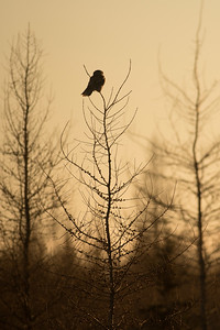 Northern Hawk Owl Zim Road Yoki Road Sax-Zim Bog MN DSC03052